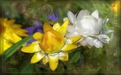 t y yo (susodediego ) Tags: macro primavera nature fleur blossom flor fiori blume printemps texturas frhling nikond300