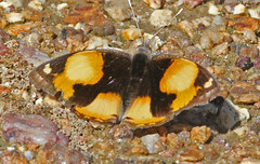 NaBo11_d60_1764a (jerryoldenettel) Tags: butterfly insect pansy namibia nymphalidae 2011 yellowpansy nymphalinae junonia junoniahiertacebrene junoniahierta