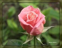 Granada rosa para mi amiga Nana (ferlomu) Tags: ferlomu flor granada rosa flower