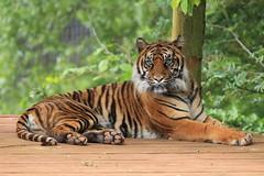 Alisha (Mark Butcher) Tags: sumatrantiger alisha southlakeswildanimalpark