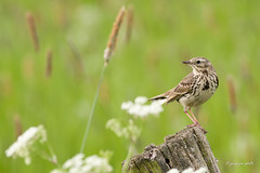 Meadow Pipit (Jongejan) Tags: meadowpipit graspieper bird vogel nature wildlife outdoor bokeh fantasticnature 100commentgroup countryside