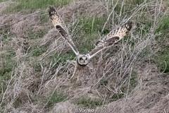 ShortEaredOwl-0026.jpg (vorneo) Tags: birdofprey shortearedowl bird wild seo classaves orderstrigiformes familystrigidae genusasio phylumchordata speciesaflammeus wildbird kingdomanimalia binomialnameasioflammeus
