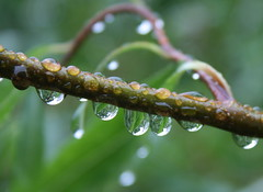 Raindrops on Willow Tree (Misty Jane) Tags: