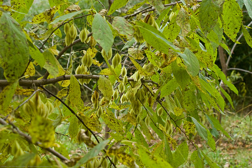 Edible Forest Gardens: honeysuckle pods
