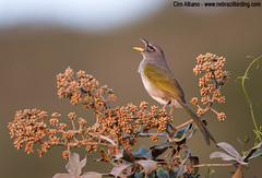 Pale-throated Pampa-Finch_Embernagra longicauda