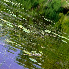 Clutter (nellleo) Tags: wood blue canada reflection green yellow sticks pond nikon lily purple outdoor lillies polarizer twigs lilypad clutter lanarkcounty nikond80 floatingobjects nellleo ottawavalleyproject 1dayroadtrips