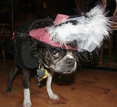 Tootsie Mad Hatter 2 (Rescue Furdaddy) Tags: rescue dog bostonterrier sweet canine bijou cuddly frenchbulldog shelter adopt darling companions tootsie blatz spurmarks abtr furdaddy