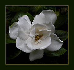 Dream (Martha MGR -I'll be out for two weeks.) Tags: white nature natureza flor vernissage bianco blanc flres gardenias mmgr marthamgr reservaespecial 4msphotographicdream 3msroyalflowers 2msroyalstation marthamariagrabnerraymundo marthamgraymundo