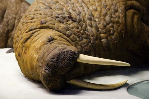 Sleepy walrus! Aw!