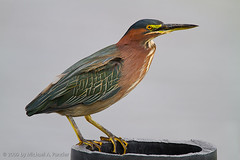 Green Heron on Ugly Perch (Michael Pancier Photography) Tags: nature birds florida wildlife melbourne wetlands seor viera floridaphotographer vierawetlands michaelpancier michaelpancierphotography avianphotography landscapephotographer floridaavianphotography wwwmichaelpancierphotographycom seorcohiba floridabirdsbirdsofflorida