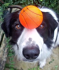 Barney's Balancing Act :) (meg price) Tags: training ball collie border balance trick bordercollie barney rescuedog positivereinforcement abigfave thelittledoglaughed