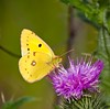 Clouded Yellow ( Colias croceus ) Pieridae