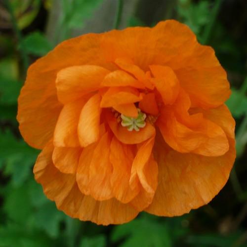 Poppy Polly