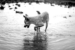 The fishing dog (flavita.valsani) Tags: sea dog chien co water island fishing rocks insel perro cachorro pooch isla ilha par illa eiland isola  maracan viralata le saari algodoal     maiandeua  valsani insul