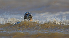 Seal and Surf (naturenev) Tags: beach nature swimming coast surf wildlife lincolnshire seal naturereserve seals greyseal doonanook