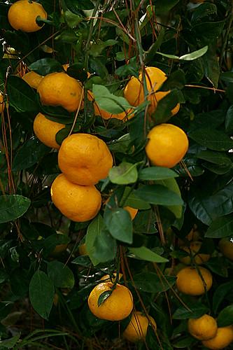 Tangerines (Web)