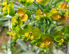 Euphorbia, specie? ( Annieta  Off / On) Tags: italy mountain lake holiday flower color macro nature june closeup juni fleurs montagne canon ilovenature this vacances vakantie is photo juin montana italia natuur lac powershot using piemonte alpine illegal euphorbia s2is monte fiori wildflower farbe colori without canonpowershots2is 2009 couleur permission allrightsreserved aosta monti itali bloem valledaosta valdaosta kleur stuwmeer mountainflower subalpine wolfsmelk aostavalley annieta valpelline wildebloem natureselegantshots lagodiplacemoulin valledaosta usingthisphotowithoutpermissionisillegal