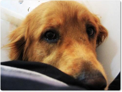 20091214「募資源」北縣被遺棄又被抓去收容所的黃金獵犬Suga弟弟~要前往紐約新家~欠缺旅費只差幾千元~懇請鄉親贊助盤纏~轉po也是很重要~謝謝您