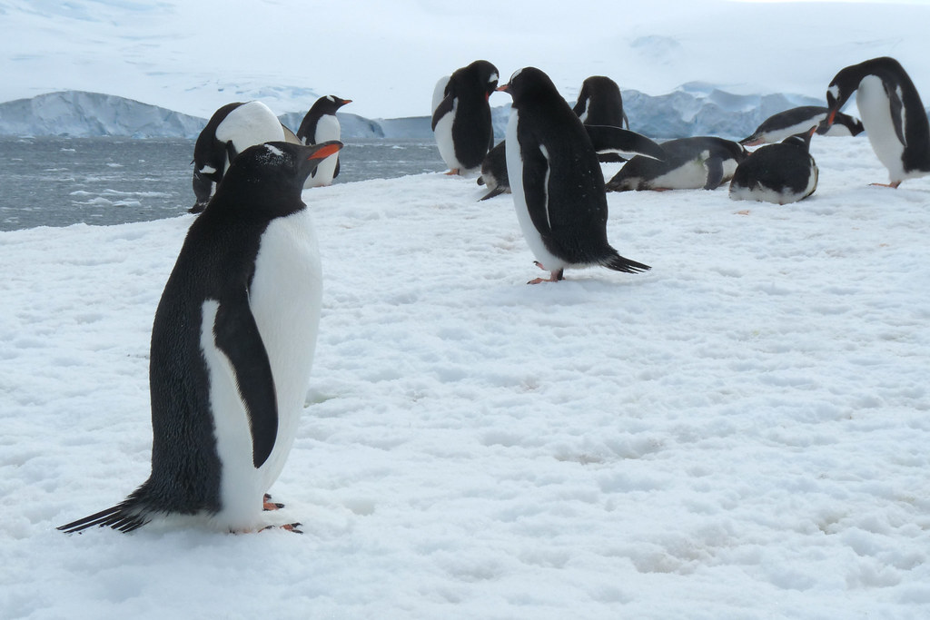 Gentoo penguins on Antarctic Peninsula
