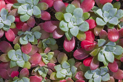 Broadleaf Stonecrop (Sedum spathulifolium) (Lee Rentz) Tags: usa plant nature leaves rock america washington leaf succulent flora pacific fat rocky wash whidbeyisland northamerica wa pugetsound botany deceptionpass sedum whidbey stonecrop northamerican sedumspathulifolium deceptionpassstatepark broadleafstonecrop 2009wa2364