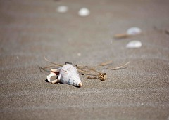 Sandy Bokeh (SF knitter) Tags: beach shell grounds nesting protected ohope goldenbee ohopescenereserve