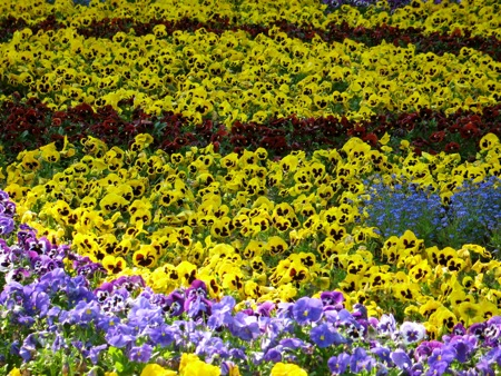 Pansies at Claude Monet's Garden at Giverny
