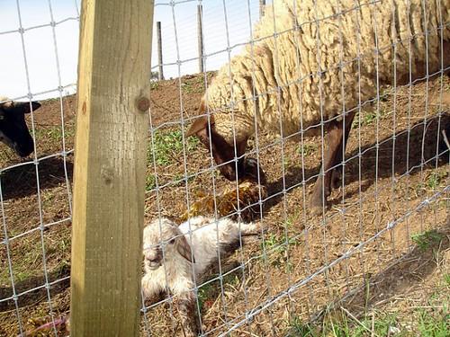 sheep_baby2