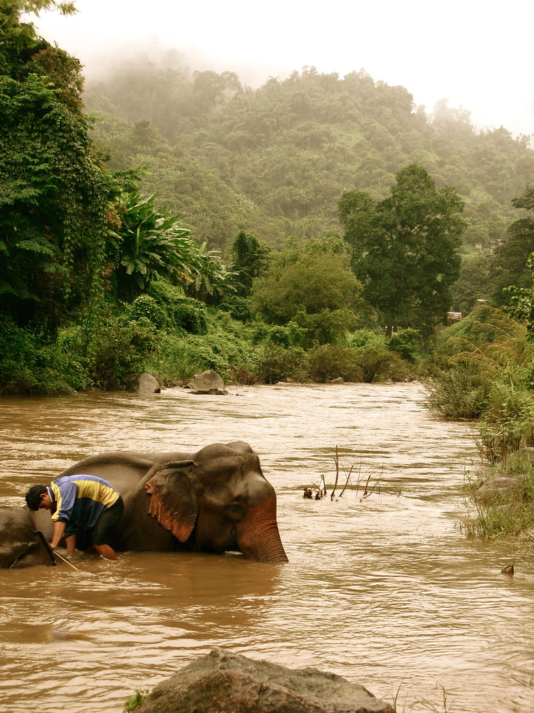Chiang Mai Jungle Trekking: A Mahout washing his elephant in the river