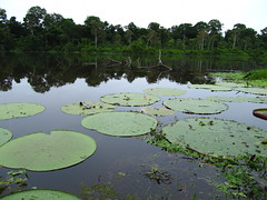 Victoria Regia (Lina C.W.) Tags: naturaleza lake plant planta peru nature water lago flora agua amazon environment amazonas medioambiente tropicalrainforest waterplant victoriaregia selvatropicalhúmeda