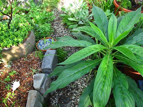 By July I'll need a machete. (Echium pininana)