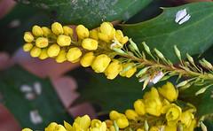 Budding Yellow Flowers (aeschylus18917) Tags: flowers flower nature yellow japan tokyo nikon blossom g micro bloom 日本 東京 txt nikkor 花 f28 vr pxt 105mm 105mmf28 105mmf28gvrmicro d700 nikkor105mmf28gvrmicro danielruyle aeschylus18917 danruyle druyle ダニエルルール