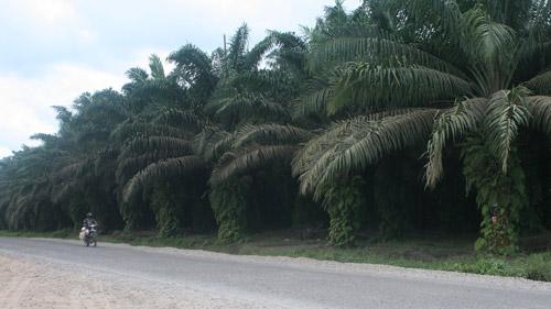 4366908038 2146a0e565 o Palas buka peluang investasi kelapa sawit
