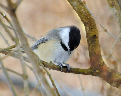 perfect chickadee 2