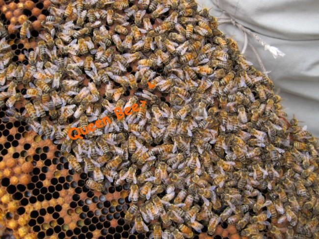 beekeeping 048 (650 x 488)