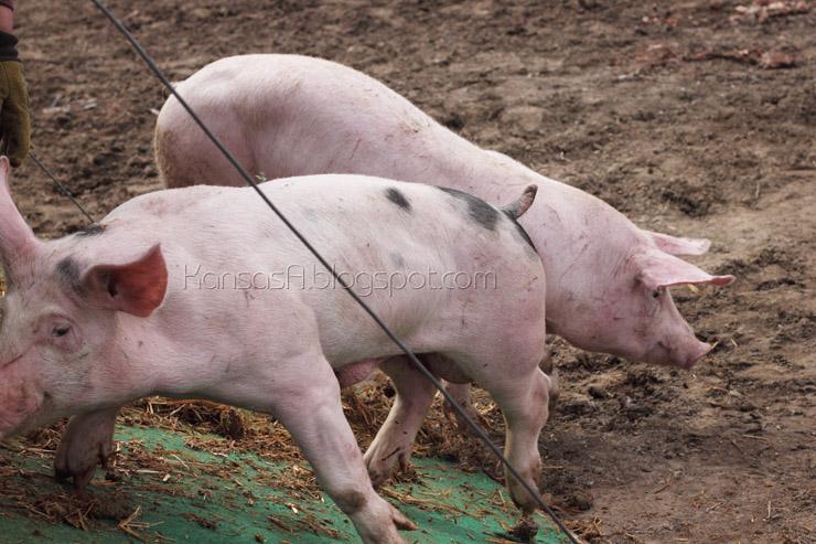 Pigs (by KansasA)