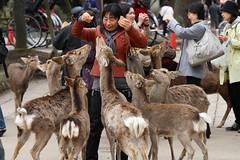 Give me food ! (Teruhide Tomori) Tags: travel animal animals japan temple traditional deer  nippon  nara