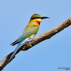 Blue Tailed Bee-Eater (Sir Mart Outdoorgraphy) Tags: birds magazine education nikon photographer bokeh outdoor birding best malaysia penang indah birdwatching birder meropsphilippinus butterworth beeeater birdisland byram unik nikonian d90 migratorybirds bluetailedbeeeater bairam menarik nikonuser nibongtebal jurugambar penangflickr sigma150500 pulauburung sirmart outdoorgraphy penangflickrgroup pulauburong
