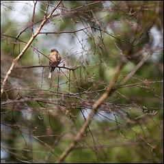 Chaffinch (strussler) Tags: england bird canon eos surrey finch naturereserve chaffinch thursleycommon ef135f2l 5dmkii dontforgetneda