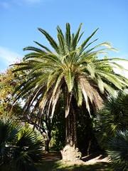 Palmier du jardin d'acclimatation