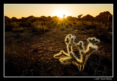 Cholla Glow (James Neeley) Tags: landscape cholla joshuatreenationalpark jamesneeley mountainhighworkshops