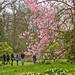 Tulip Tree, Kew Gardens