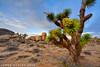 Small in Stature (James Neeley) Tags: california landscape hdr joshuatreenationalpark 5xp jamesneeley mountainhighworkshops