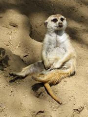 Meerkat at the San Diego Zoo (Janelle Becker) Tags: cute meerkat sitting sandiegozoo merekat