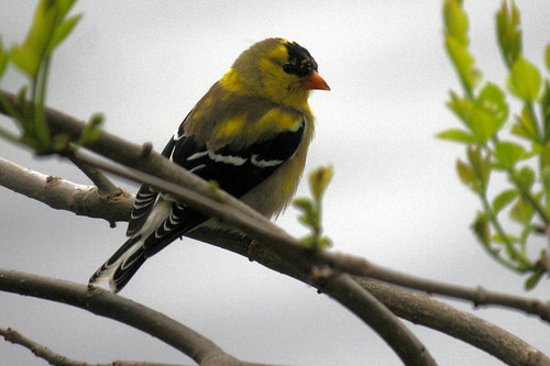 gold finch 064