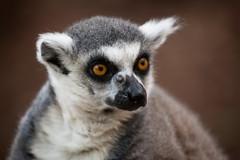 2011-05-29-16h24m58.272P2951 (A.J. Haverkamp) Tags: zoo arnhem thenetherlands burgerszoo dierentuin ringtailedlemur katta ringstaartmaki canonef100400mmf4556lisusmlens httpwwwburgerszoonl