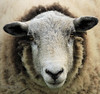Here's looking at you! (Susan SRS) Tags: portrait england wool animal canon sheep farm hastings livestock lookingatyou greatphotographers img8127 blinkagain bestofblinkwinners