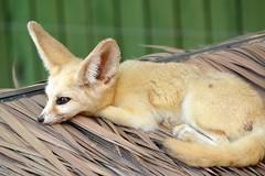 Fennec Fox (Louis_Kou) Tags: nature nikon fox fennecfox 55200mm d3200
