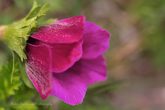 Valentine;s day (Nikos Roditakis) Tags: valentine s day nikos roditakis poem nikon d5200 macro anemone coronaria ranunculaceae