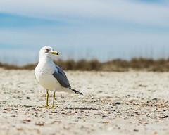 DSC_4282 (felix.graner) Tags: sea seashore birds feathers wings animals wildlife beak sand sky clouds beaty