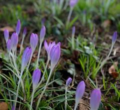 Churchyard Crocus's (Adam Swaine) Tags: flora flowers churchyard kent purplegreen greenpurple petals nature naturelovers england english british canon swaine ukcounties macro crocus